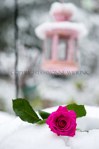 Pink rose in the snow with lantern