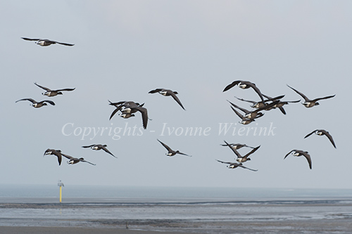 Brent gooses flying above the wadden sea