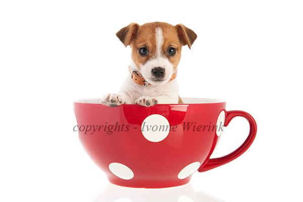 Six weeks old Jack Russel in big coffee cup