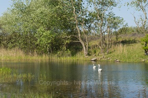 Couple swans in lake