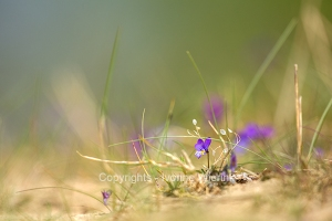Purple dune pansy