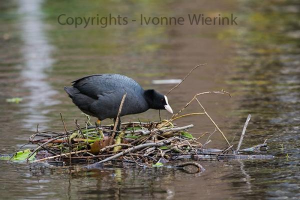 Eurasian coot on nest