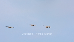 Flying gooses