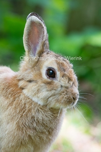 European wild rabbit
