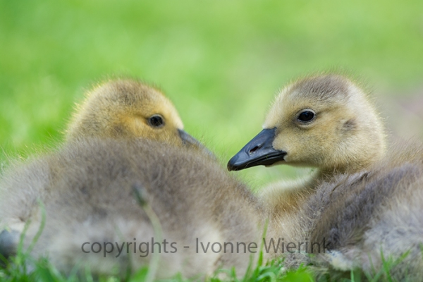Young gooses laying in grass