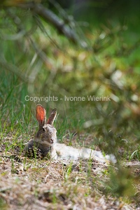 Resting hare in dunes