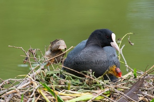 Eurasian coot with young coot