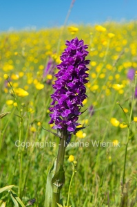 western marsh orchid in field with butter cups