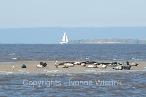 Seal in wadden seaDSC_1824