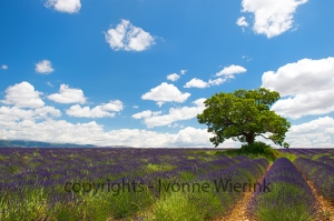 Tree in Lavender fields