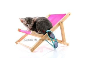 Siamese tabby kitten on beach chair