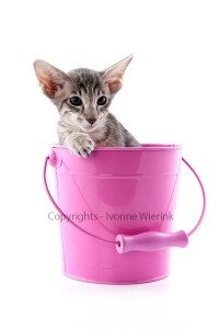 Siamese kitten in pink bucket