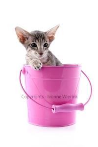 Siamese kitten in pink bucket