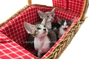 Siamese kitten in picnic basket