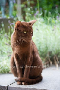Havanna brown siamese