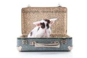 Siamese kitten in vintage suitcase