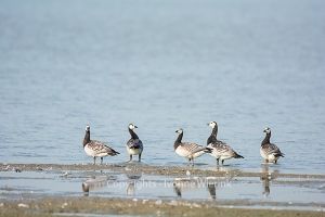 Barnacle Gooses