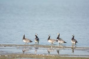 Barnacle Gooses