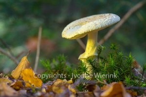 false death cap in forest