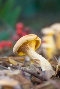 formerly Armillaria ostoyae