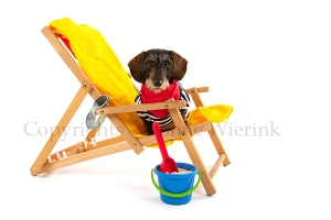 Wire haired dachshund at the beach