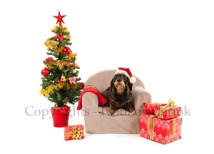 Dachshund sitting on chair with Christmas tree