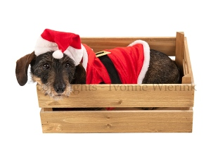 Wire haired dachshund with Christmas suit in wooden crate