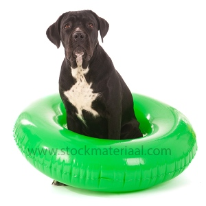 Summer dog with swimming toy