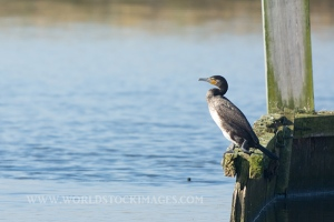 Great Cormorant on pole