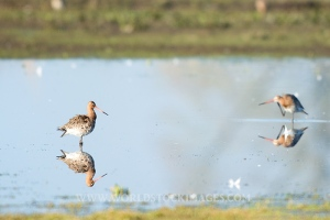 Common Redshanks in nature
