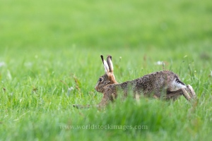 Running European hare