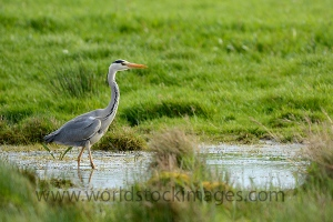 Blue heron in Ditch