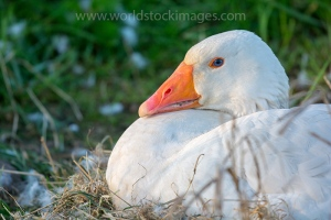 White goose on nest