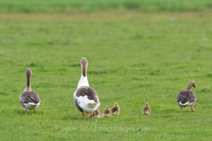 Gooses with goslings