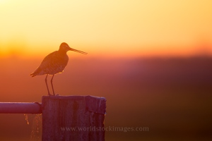 Black-tailed Godwit in sunrise