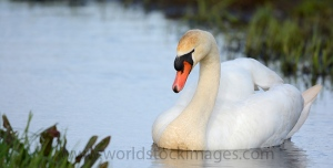 Mute swan swimming in ditch