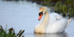 Mute swan swimming in ditch