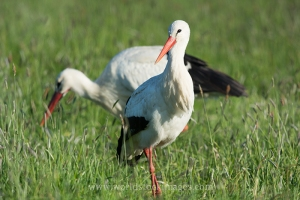 Couple Storks