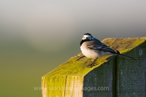 White wagtail on pole