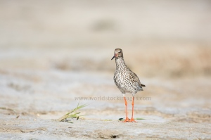 common redshank at the beach