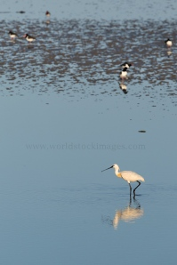Eurasian spoonbill in sea