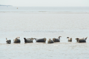 Seals in the Dutch wadden sea