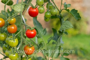 Tomatoes in the vegetable garden