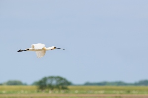 Flying spoonbill at Dutch wadden island Texel