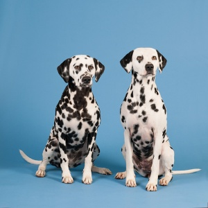 Dalmatian dogs on blue background